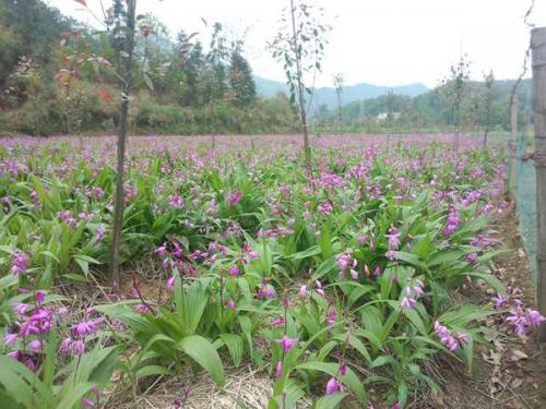 大山种的紫花野生白芨