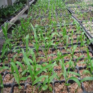 紫花三叉白芨种苗