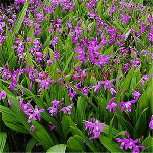 盛开的紫花三叉白芨