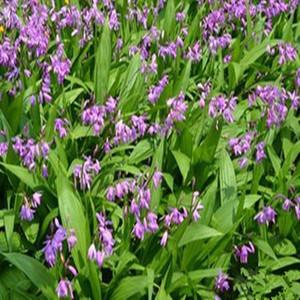 紫花三叉白芨