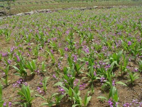 第二年的紫花白及已经开花了